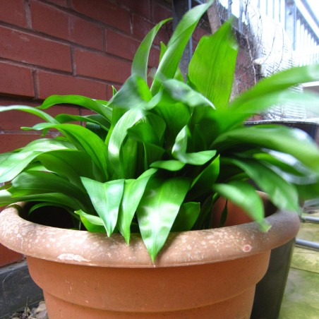 Medvedji Luk, Divlji Luk, Sremus Seme ( Allium ursinum) 3 - 2