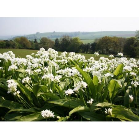 Medvedji Luk, Divlji Luk, Sremus Seme ( Allium ursinum) 3 - 4