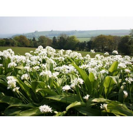 Wild Garlic, Bear's Garlic Seeds (Allium ursinum) 3 - 4