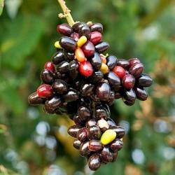 Sällsynta frukt - Rusty sapindus frukt frön (Lepisanthes rubiginosa) 4 - 6