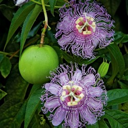 Graines de Maypop - Passiflore Officinale (Passiflora incarnata) 2.05 - 1