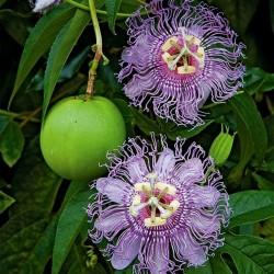 Maypop, Lila Passionsblume Samen (Passiflora incarnata) 2.05 - 1