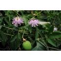 Graines Passiflora Edulis Passion Flower