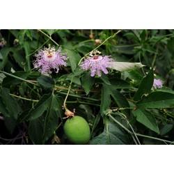 Semillas Flor de la Pasion Passiflora Edulis Trepadora MARACUYA