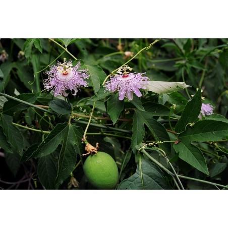 Maypop, Lila Passionsblume Samen (Passiflora incarnata) 2.05 - 4