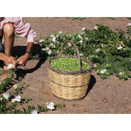Caper bush, Flinders Rose Seeds (Capparis spinosa) 1.95 - 10