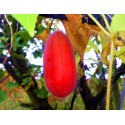 Curuba - Banana Passion Fruit Seme (Passiflora mollissima)
