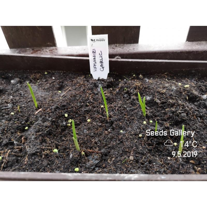 Σπόροι λωτός American (Diospyros virginiana)
