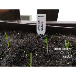 Kashmiri Knoblauch Samen (Allium schoenoprasum) 1.85 - 5