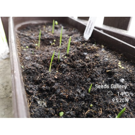 Kashmiri Garlic Seeds (Allium schoenoprasum) 1.85 - 6