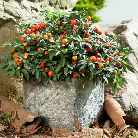 Seeds Jerusalem Cherry, Madeira Winter Cherry 1.5 - 5