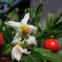 Semillas de AJENJO DULCE - planta medicinal (Artemisia annua)