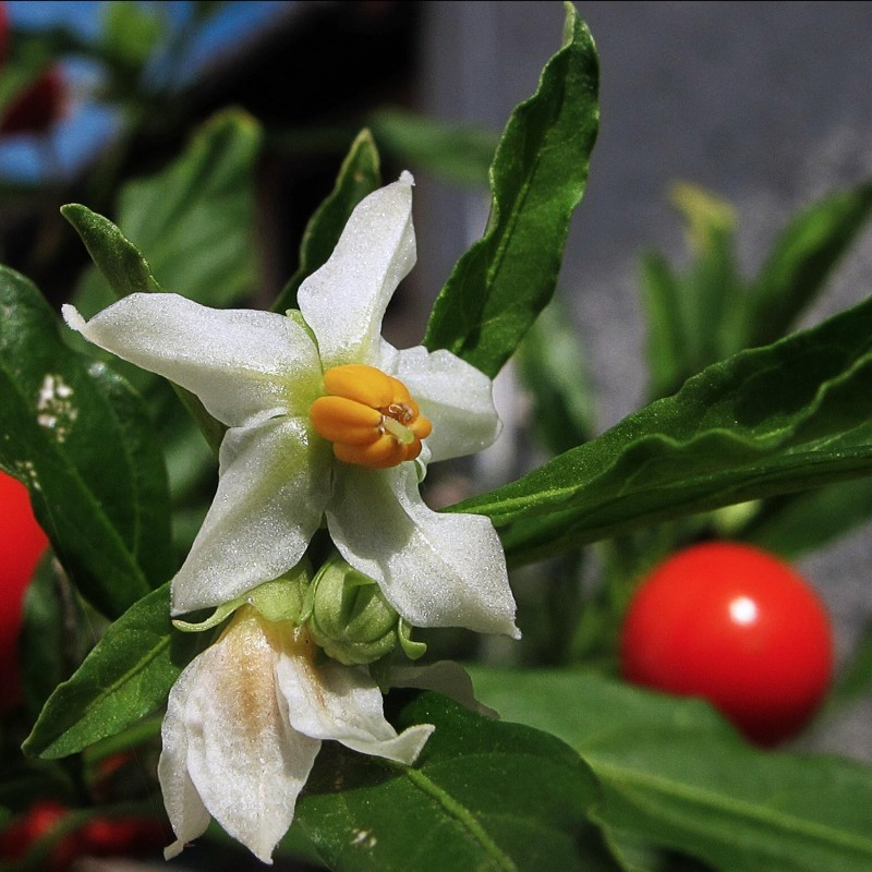 Graines de armoise annuelle plante m dicinale artemisia for Plante 21 en ligne