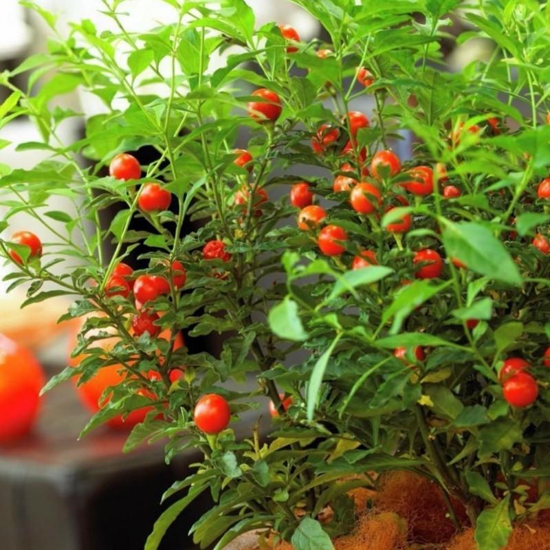 Sementes de árvore-do-viajante