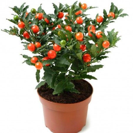 Seeds Jerusalem Cherry, Madeira Winter Cherry 1.5 - 4