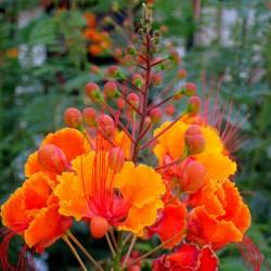 Pfauenstrauch Samen - Stolz von Barbados  2.35 - 4