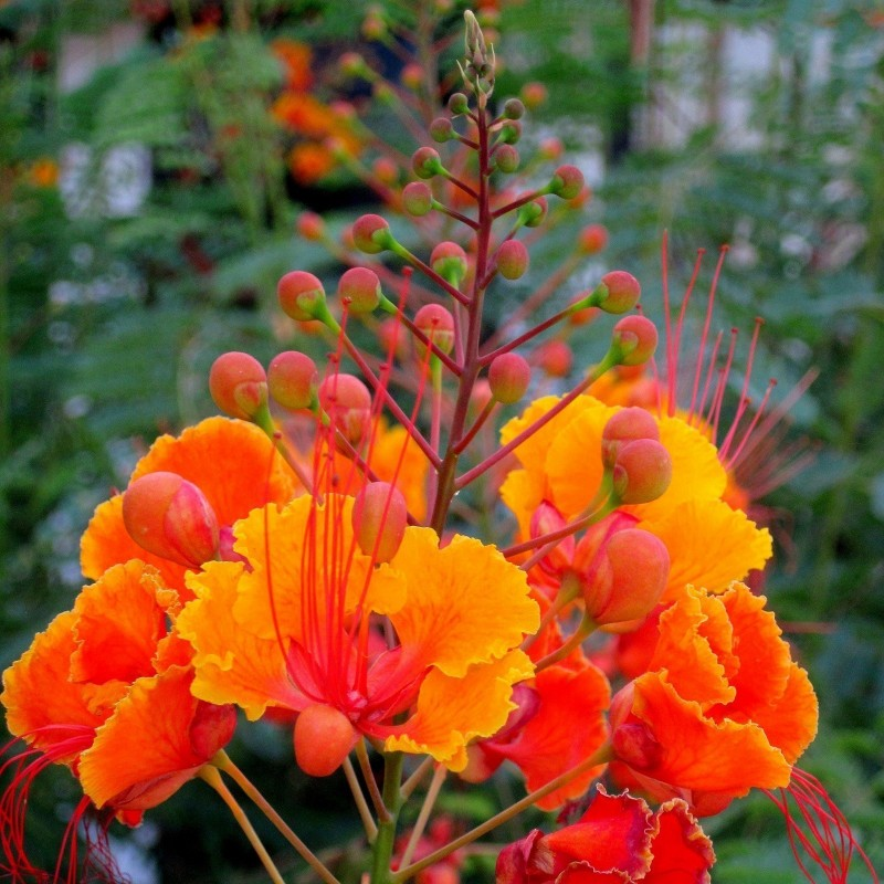 Graines de Petit Flamboyant, Fleur de Paon  2.35 - 4