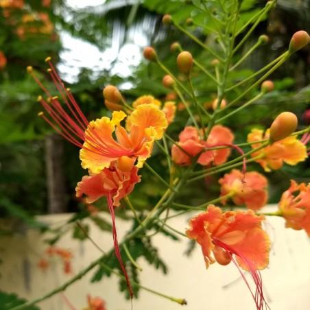 Graines de Petit Flamboyant, Fleur de Paon  2.35 - 3