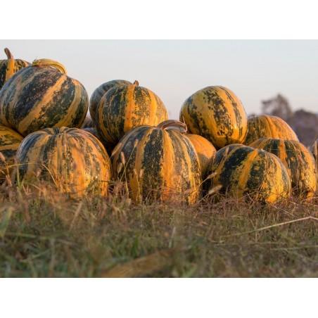 Oilseed Pumpkin - Naked Seeded Pumpkin Seeds 1.55 - 4