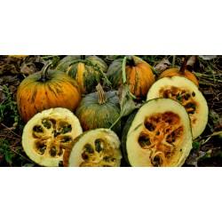 Oilseed Pumpkin - Naked Seeded Pumpkin Seeds 1.55 - 5