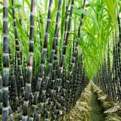 Graines de Canne à sucre (Saccharum officinarum) 3.5 - 2