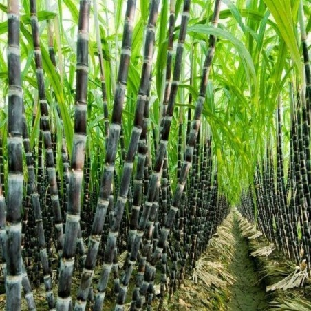 Sugarcane or Sugar Cane Seeds (Saccharum officinarum) 3.5 - 2