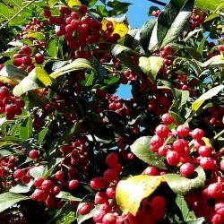 Semillas Pimienta de Nepal (Zanthoxylum armatum) 2.75 - 3