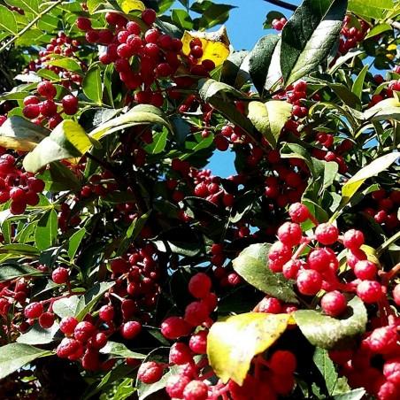 Nepal Pepper, Winged Prickly Ash, Seeds (Zanthoxylum armatum) 2.75 - 3