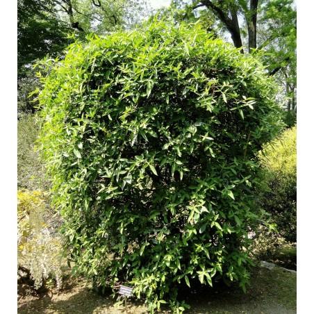 Semillas Pimienta de Nepal (Zanthoxylum armatum) 2.75 - 4
