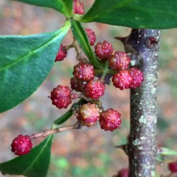 Nepal Pepper, Winged Prickly Ash, Seeds (Zanthoxylum armatum) 2.75 - 2