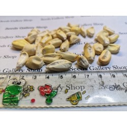 Riesen Röstmais - Mais der Anden CHULLPI Samen 2.45 - 5