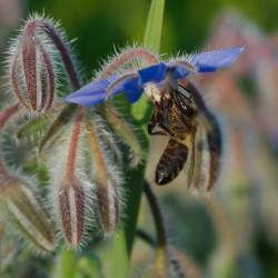 Starflower, Borage Seeds...