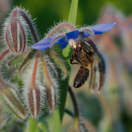 Graines de Bourrache, Plante médicinale (Borago officinalis) 1.55 - 5
