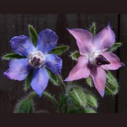 Borač Seme (Borago officinalis) 1.55 - 4