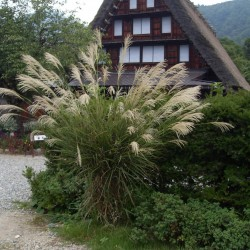 Glansmiskantus Källor, japanskt gräs Hardy -30 (Miscanthus sinensis) 2 - 1