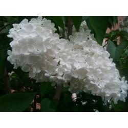 Сире́нь обыкнове́нная семена (Syrínga vulgáris) 1.55 - 5