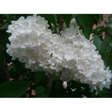 Lilac Seeds (Syringa vulgaris) 1.55 - 5