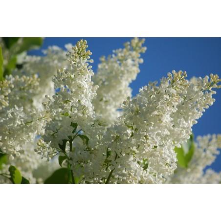 Lilac Seeds (Syringa vulgaris) 1.55 - 6