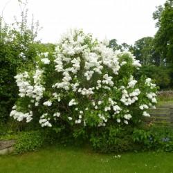 Sementes de Lilás (Syringa vulgaris) 1.55 - 7
