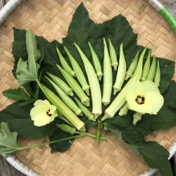 Okra Seeds Clemson Spineless 2.25 - 4