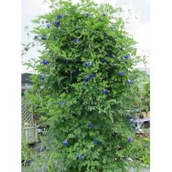 Blaue Schmetterlingserbse Samen (Clitoria ternatea) 2.65 - 3