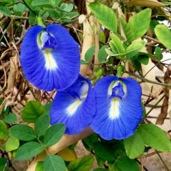 Blaue Schmetterlingserbse Samen (Clitoria ternatea) 2.65 - 4