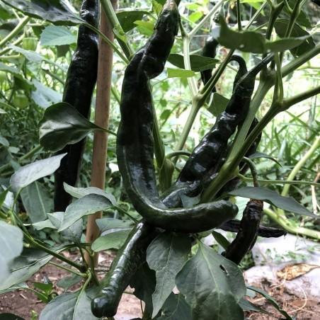 Pasilla Bajio Frön Black Chili (Capsicum annuum) 1.95 - 5