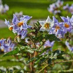 Semillas de Espina Colorada (Solanum sisymbriifolium) 1.8 - 2