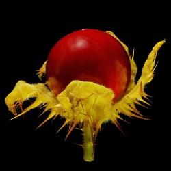 Semillas de Espina Colorada (Solanum sisymbriifolium) 1.8 - 8