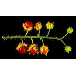 Litchi Tomatensamen - Lulita (Solanum sisymbriifolium) 1.8 - 9