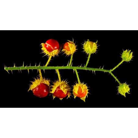 Litchi Paradajz Seme (Solanum sisymbriifolium) 1.8 - 9