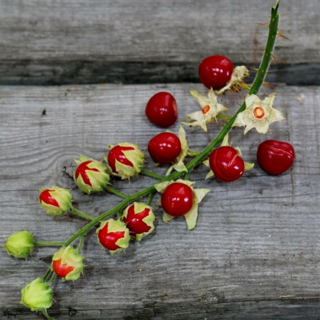 Litchi Tomatensamen - Lulita (Solanum sisymbriifolium) 1.8 - 3