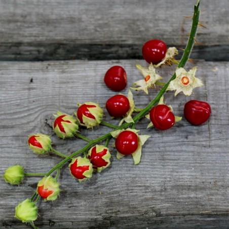 Semi di Pomodoro del Litchi (Solanum sisymbriifolium) 1.8 - 3