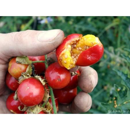 Litchi Tomatensamen - Lulita (Solanum sisymbriifolium) 1.8 - 10